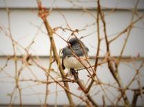Junco (Snowbird)